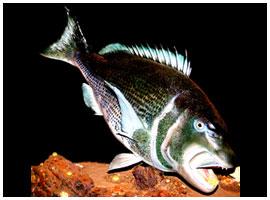 Fish mount 01